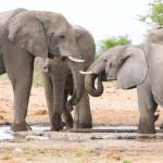 Elephant01-MOP-800x533