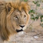 Lion07-MOP-1028x865-1024x682